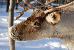 Reindeer. In zoo park Stock Image