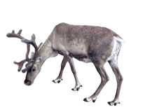 Reindeer01. Reindeer which is grazed; isolated object, without a background royalty free stock image