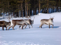 Reindeers-02. Reindeers grazed in lappish forest-tundra on early spring royalty free stock photo