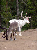 Reindeers. During short polar summer stock photography