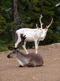 Reindeers. During short polar summer royalty free stock photo