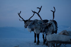 Reindeers Stock Photos