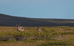 Reindeers Stock Images