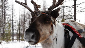 Free Reindeers Stock Photo - 38312000
