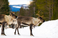 Reindeers Stock Image