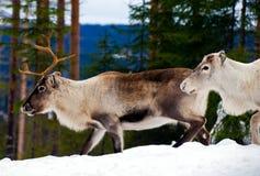 Reindeers Royalty Free Stock Photos