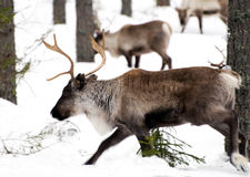 Reindeers Royalty Free Stock Photography