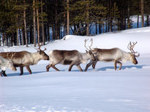 Reindeers. Grazed in lappish forest-tundra on early spring stock photo