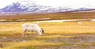 Reindeers in the arctic landscape of Svalbard Royalty Free Stock Photos