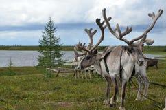 Reindeers in Arctic. Near lake Stock Image