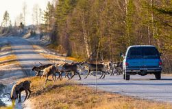 Reindeers almost causing a collision. On the road royalty free stock photo