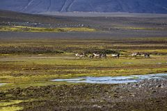 Reindeers in central Iceland Royalty Free Stock Images