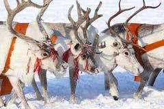 Reindeers close up Stock Image