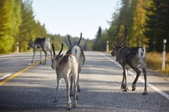Reindeers crossing a road in Finland. Finnish landscape. Travel Stock Photography