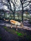 Reindeers in dark winter forest. stock images
