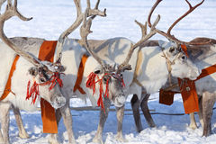 Reindeers Royalty Free Stock Photo