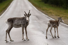 Reindeers on the drive way Stock Photography