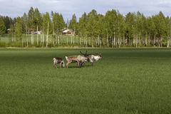 Reindeers eating on a field Stock Photography
