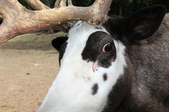 Reindeers Royalty Free Stock Photo
