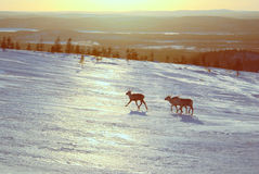 Reindeers in Finland Royalty Free Stock Photos