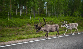 Reindeers in Finland Royalty Free Stock Photography