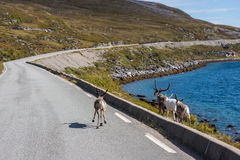 Reindeers in Finnmark, Norway. Royalty Free Stock Photography