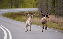Reindeers are flying Stock Photo