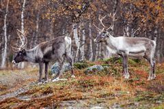 Reindeers in the forest Royalty Free Stock Photography