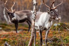 Reindeers in the forest Stock Image