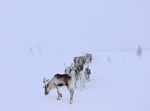 Reindeers going home Royalty Free Stock Photography