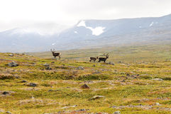 Reindeers in the grassland  Stock Photography