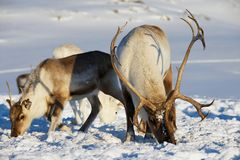 Reindeers graze in deep snow in natural environment in Tromso region, Northern Norway. Stock Photo
