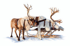 Reindeers in harness Royalty Free Stock Image