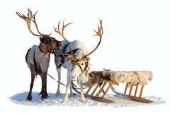 Reindeers in harness Stock Photo