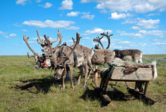 Reindeers in harness Royalty Free Stock Photography