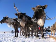 Reindeers in harness. Stock Photo