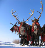 Reindeers in harness. Royalty Free Stock Photo