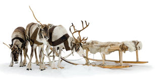 Reindeers in harness Royalty Free Stock Photos