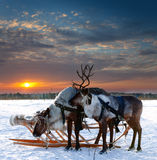 Reindeers in harness royalty free stock images