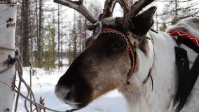 Reindeers stock video footage