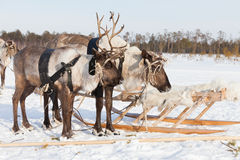 Reindeers in harness Royalty Free Stock Photo