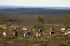 Reindeers from lapland Royalty Free Stock Photo