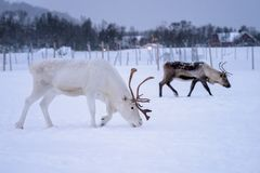 Reindeers looking for food. Albino reindeer with massive antlers looking for food in snow, Tromso region, Northern Norway stock photos