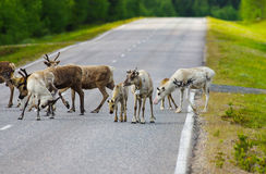 Reindeers on main road. In Lapland, Finland Stock Images
