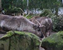 Reindeers Stock Photos