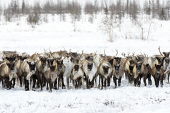 Reindeers migrate for a best grazing in the tundra. Nearby of polar circle in a cold winter day Royalty Free Stock Photos