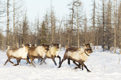 Reindeers migrate for a best grazing in the tundra. Nearby of polar circle in a cold winter day Royalty Free Stock Photography