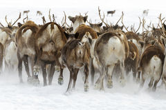 Reindeers migrate for a best grazing in the tundra nearby of polar circle in a cold winter day Royalty Free Stock Photos