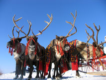 Reindeers. Stock Photography