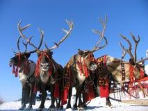 Reindeers. Stock Photography